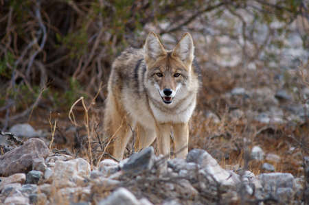 coyote in death valley photo