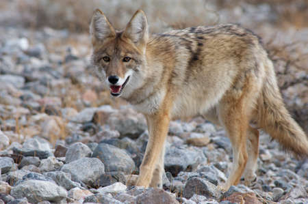 death valley: coyote in death valley