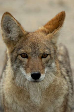 coyote: coyote portrait