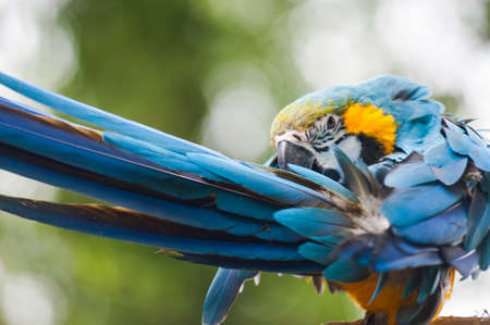 fruit eater: blue parrot grooming feathers Stock Photo