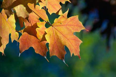 autumn colour: sunlight shining through autumn leaves