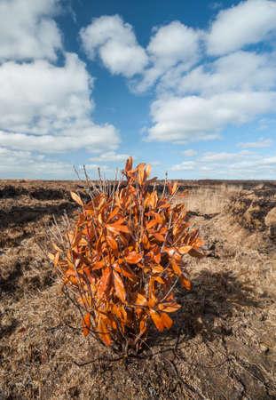 gaelic: orange leaf bush in a Peat bog landscape