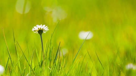 fever plant: focus on single daisy flower in green meadow