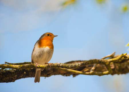 robin bird: red robin bird perched in the shade