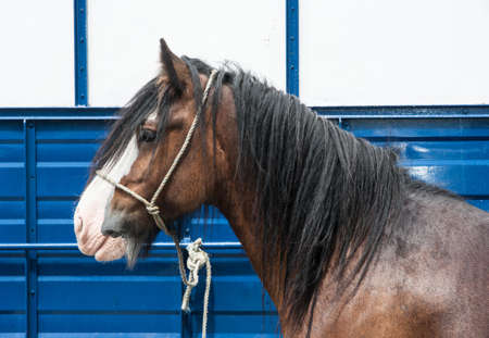 irish countryside: side profile of a horse in front of a trailer at a horse fair