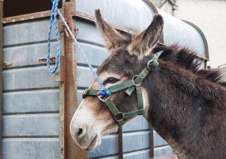 burro: asna atada a un remolque en una feria de caballos en la Irlanda rural