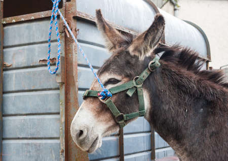 ears donkey: donkey tied to a trailer at a horse fair in rural Ireland Stock Photo