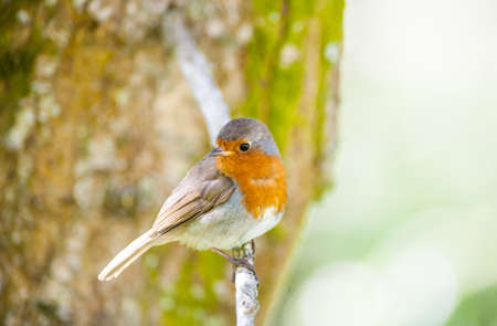 looking around: cute little robin bird looking around