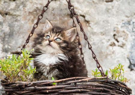 hanging basket: cute fluffy kitten in a hanging basket