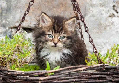 hanging basket: little baby kitten in a hanging basket