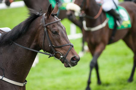 corse di cavalli: ritratto di cavallo da corsa in pista