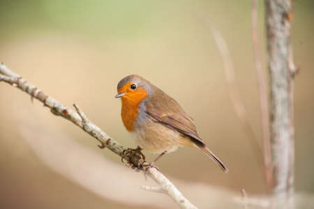 robin bird: red robin bird on a branch