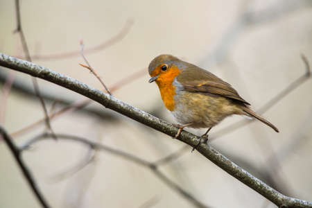 looking over: cute little robin bird looking over Stock Photo