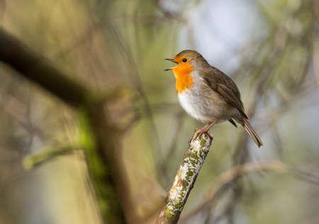 robin bird: cute little robin bird singing Stock Photo