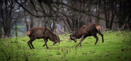 Red deer stags in the distance fighting during mating season Stock Photo