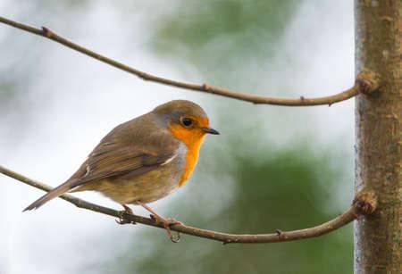 robin bird: robin bird between two tree branches Stock Photo