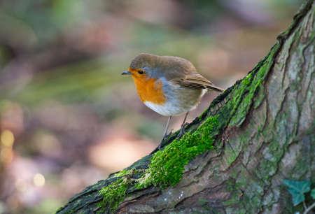 robin bird: Little robin bird on a tree trunk
