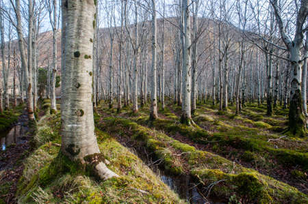 birch trees: planted forest of birch trees