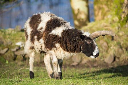 ram horn: Wild big horn sheep ram grazing