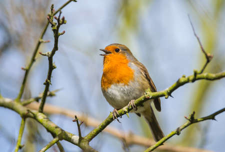 little robin bird is chirping on a tree branch stock photo picture