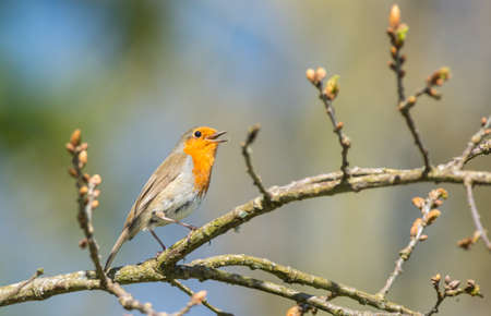 redbreast: cute little young robin bird singing and climbing a tree branch during springtime