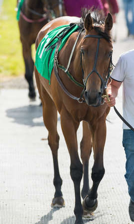 racehorses: Walking a race horse to the parade ring