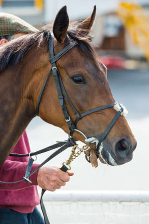 racehorses: portrait of a race horse in the parade ring before a race Stock Photo
