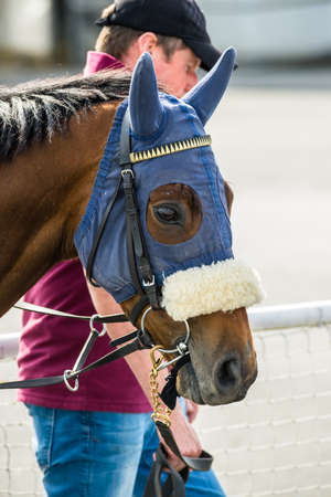 racehorses: race horse with a face mask walking through the parade ring before a race.