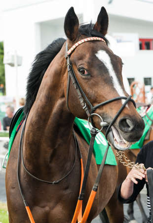 racehorses: Close up of a Race horse in the the parade ring before the race