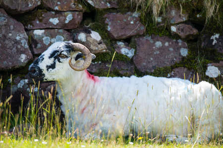irish countryside: young horned sheep resting in the shade