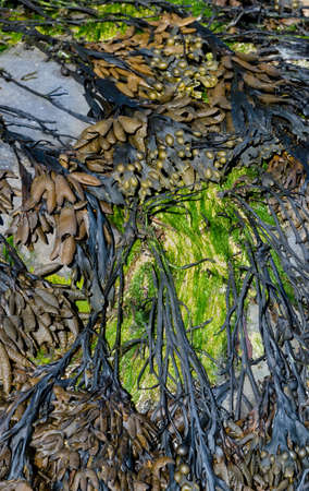 Various types of seaweed on a costal rock