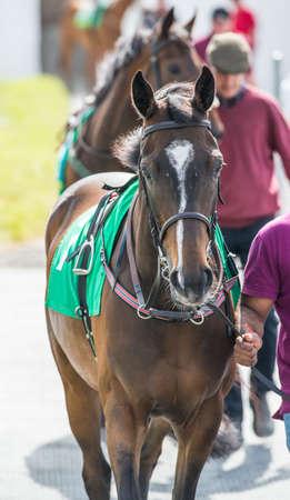 nose ring: Race horses walking around the parade ring