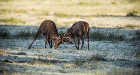 rutting: Two Red Deer fighting during the seasonal winter rut