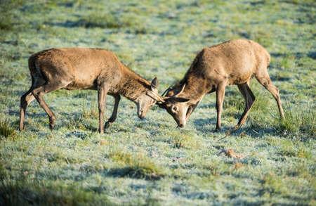 red deer: Red Deer stags fighting during the seasonal winter rut Stock Photo