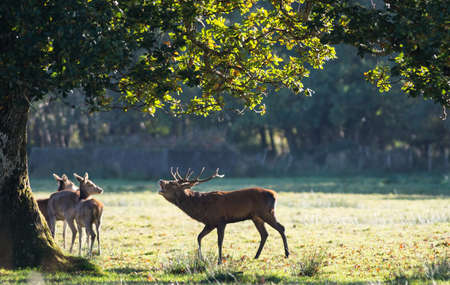 bellowing: Large Red Deer stag bellowing under a tree during rutting season