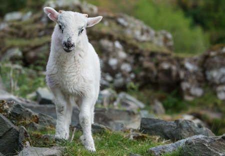adorable cute spring lamb in the gap of Dunloe in County Kerry, Ireland