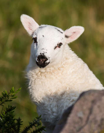 babies: Portrait of an adorably cute spring lamb