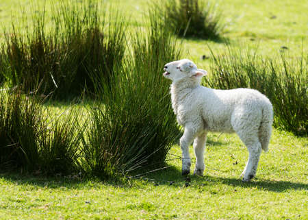 cute little spring lamb playing in a grass meadow