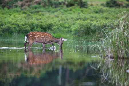 Sika deer drinking water from a reflected still water lake