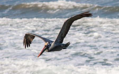 pelican flying over ocean waves on huntington beach, California