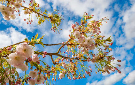 vibrant Spring time cherry blossom tree in bloom