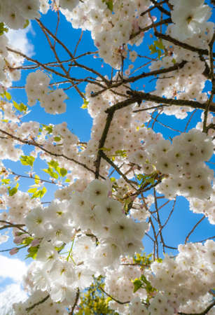 looking up at cherry blossom tree blooming in the forest during spring time Reklamní fotografie