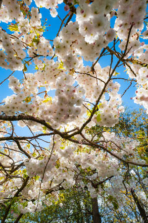 looking up at cherry blossom tree blooming in the forest during spring time Banco de Imagens