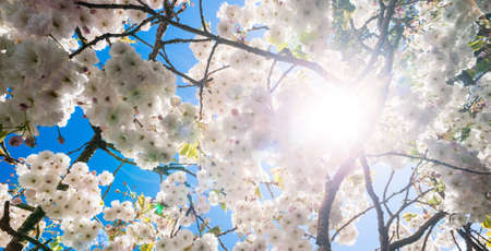 Panorama Cherry blossom tree in bloom during spring season, lens flare  clouds effect