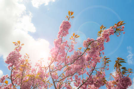 Cherry blossom in bloom during spring season, lens flare  clouds effect