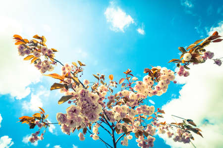 Cherry blossom in bloom during spring season, cross processed lens flare  clouds effect