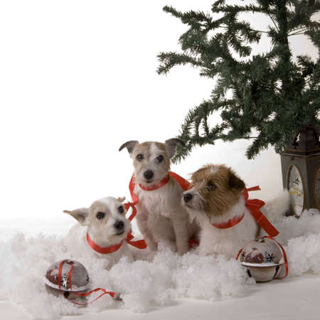 three dogs sitting by the christmas tree photo