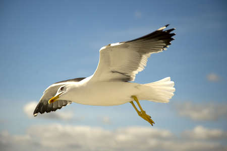 a flying seagull photo