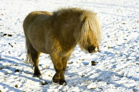 a shetland pony is walking in the snow on a sunny winterday photo