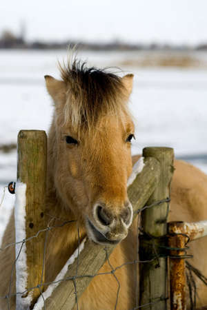 winterday: a horse by the fence on a sunny winterday